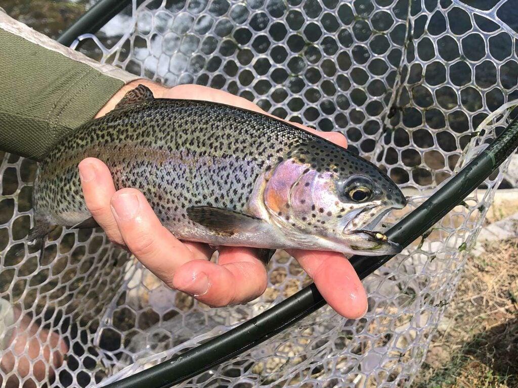 Rainbow trout in a fishing net.