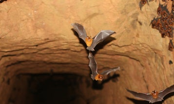 Why do so many diseases come from bats?