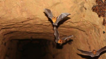 bats flying out of an abandoned gold mine