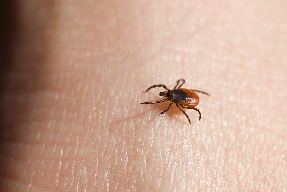The deer tick, or blacklegged tick, is famed for spreading Lyme disease.