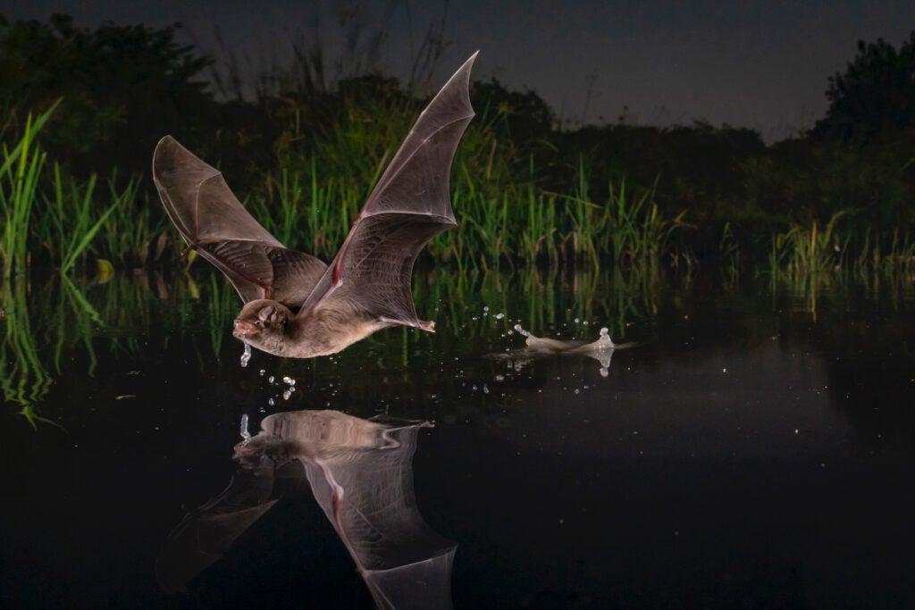 bat skimming a pond