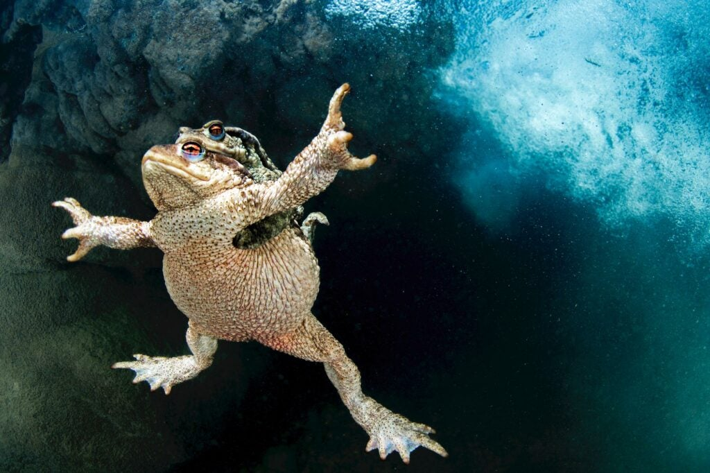 a male common toad