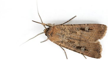 An inch-long bogong moth covers hundreds of miles of Australian terrain to return to its birthplace.