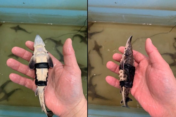 Scientists put fanny pack trackers on young lake sturgeon to learn where they wander.
