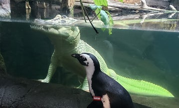 Zoos and aquariums are letting their animals go on adventures during the shutdown. But should they?