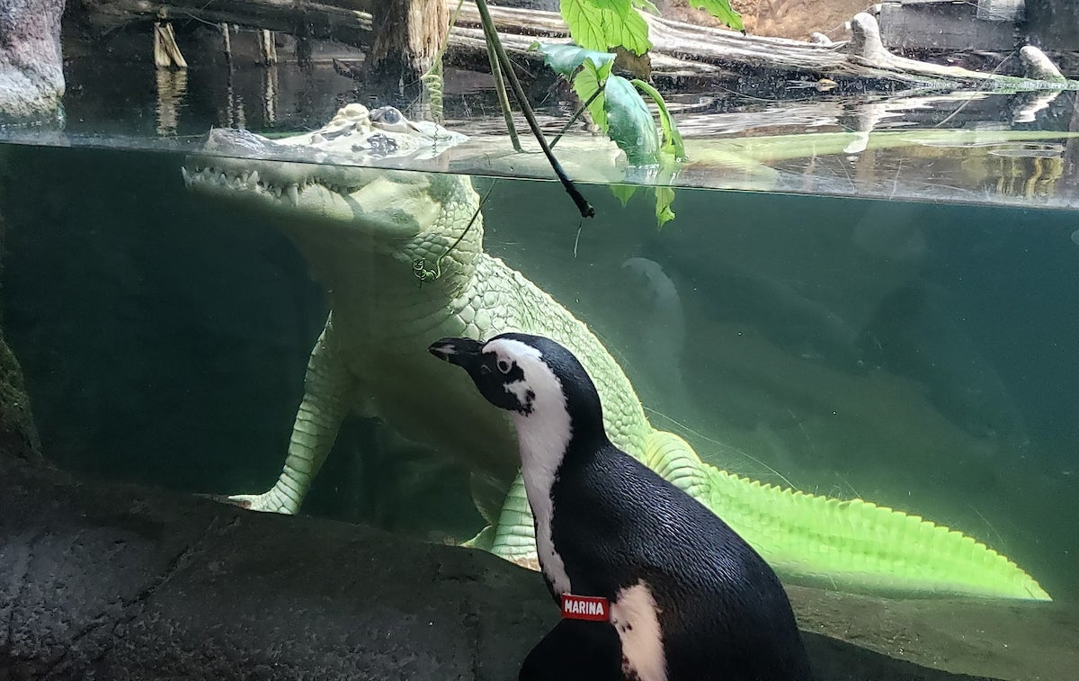 The Audubon Aquarium of the Americas in New Orleans let Marina, the African penguin, take a mini safari. Here she check out a hypomelanistic crocodile safely from the other side of the glass.