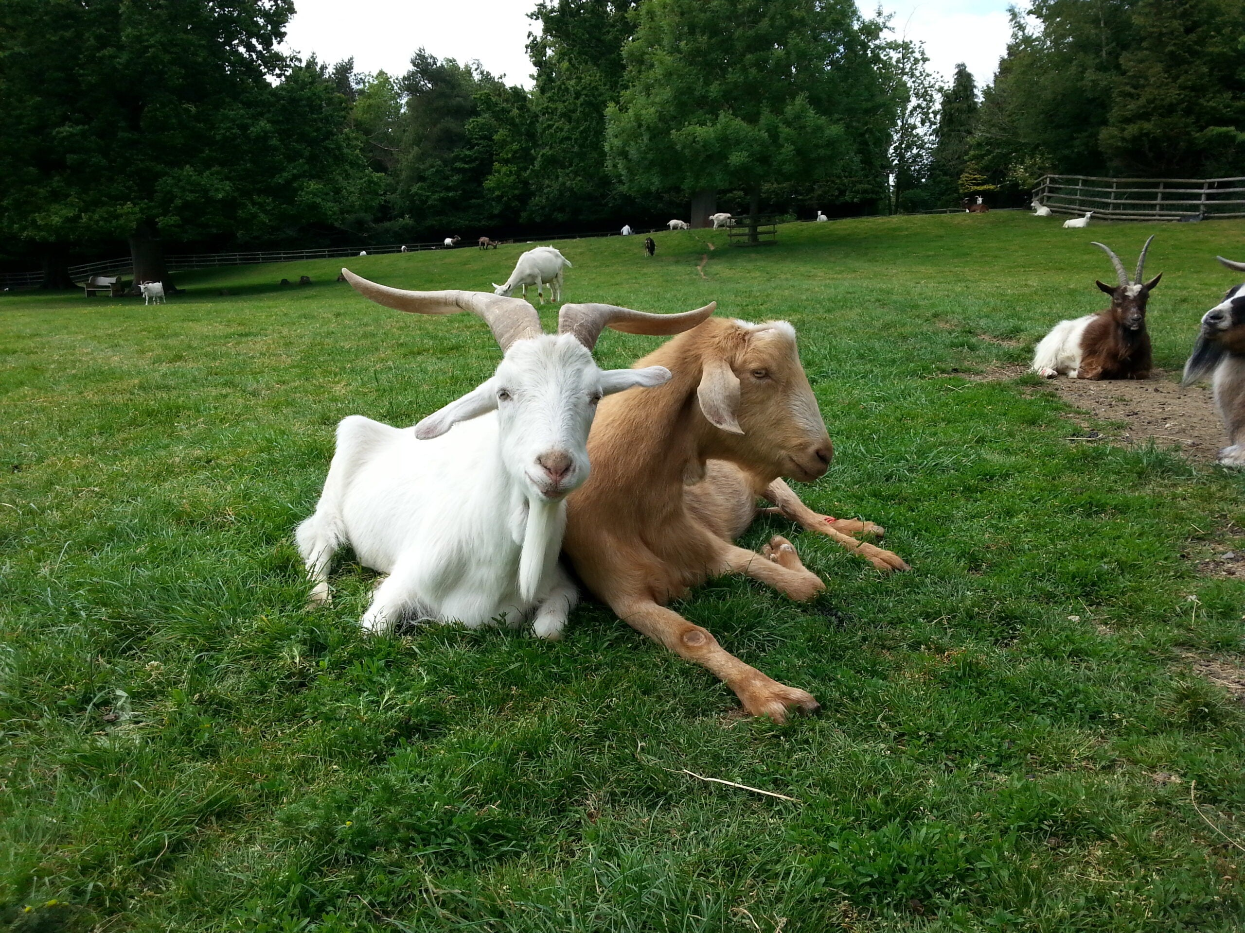 two goats in a field leaning against each other