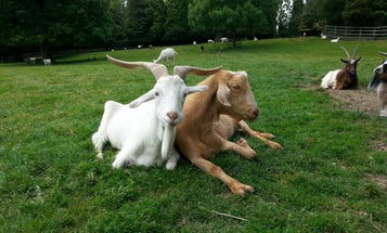 Goats get us. Or at least, our hand gestures.