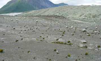 Glacier mice have no feet, but they still move in herds
