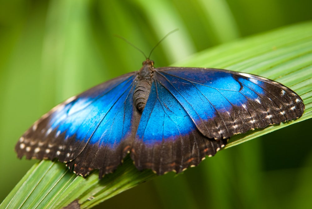 A blue morpho butterfly spread out on a plant
