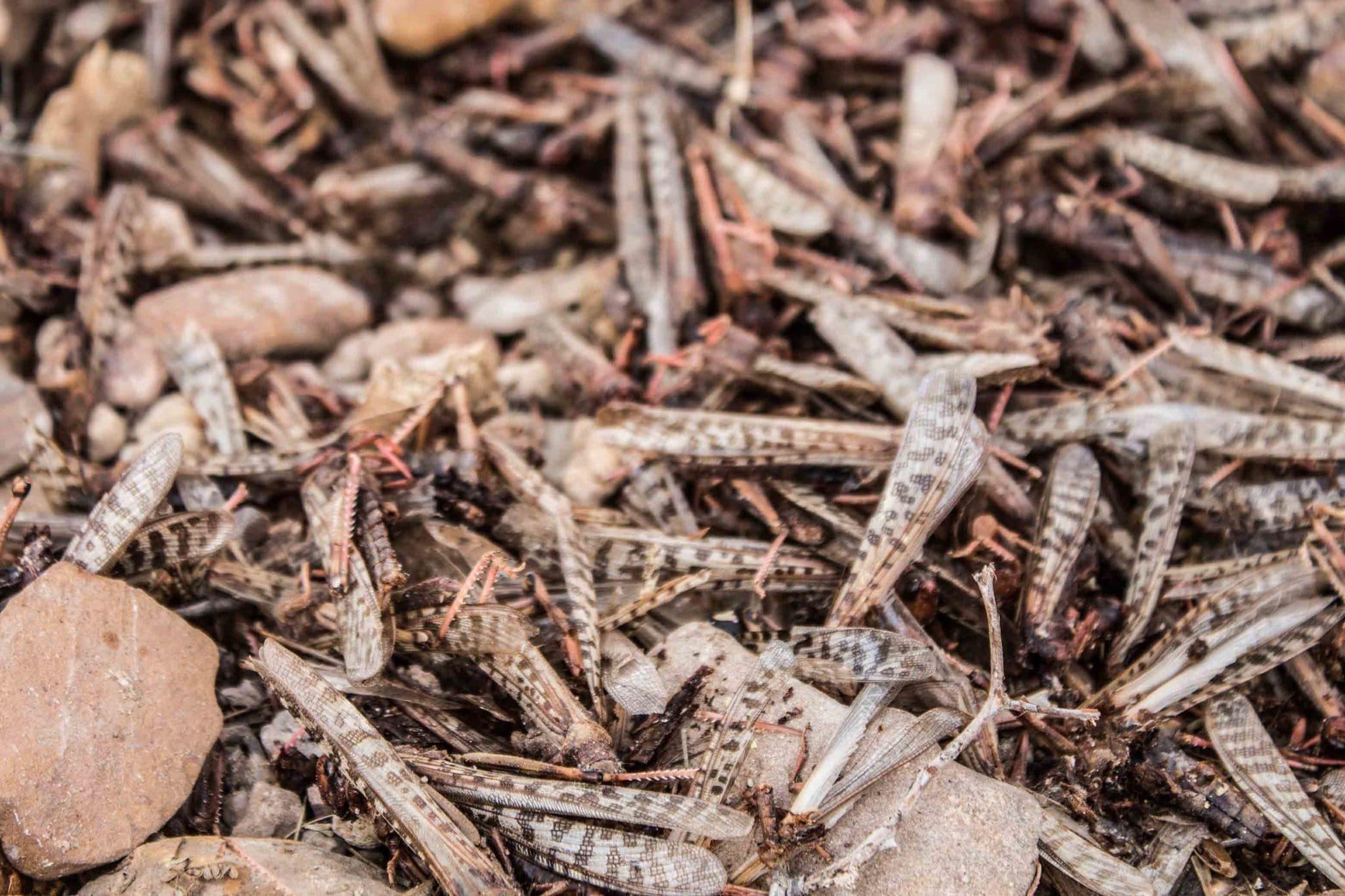 Pesticide-killed locusts