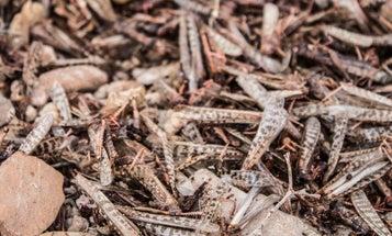 An unprecedented locust swarm is creating unlikely allies