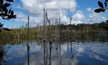 Mangrove plants flourish on coastlines, but rising seas may outpace them by 2050
