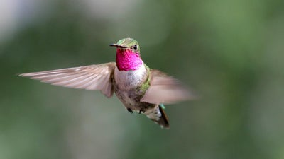 Hummingbirds can see colors we can't even imagine