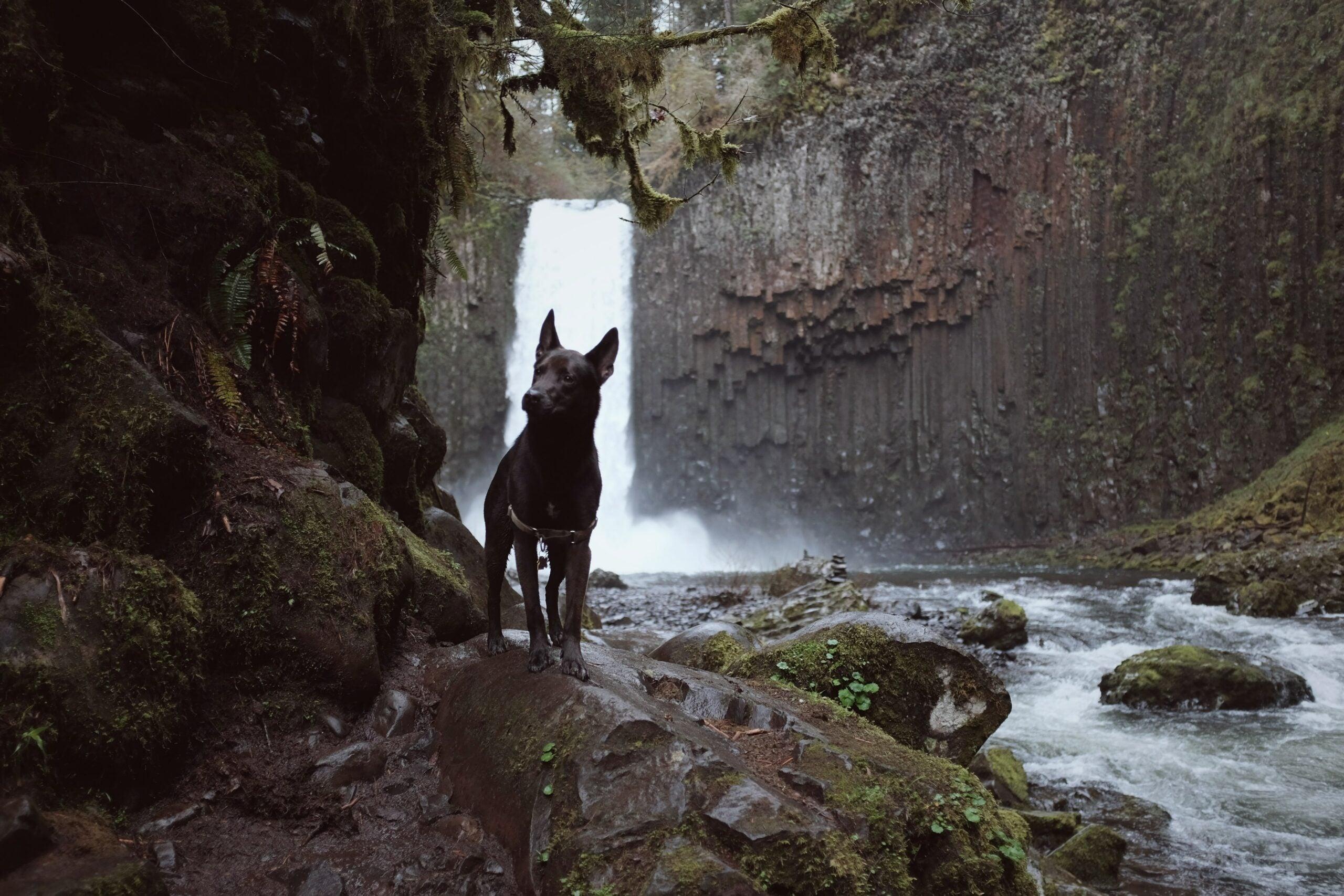 A black shepherd dog along a river