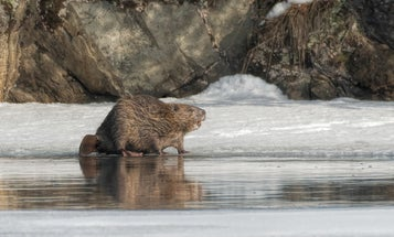 Beavers might be making the Arctic melt even faster