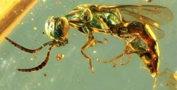 Insects from the mid-Cretaceous period preserved in amber were found in present-day northern Myanmar.