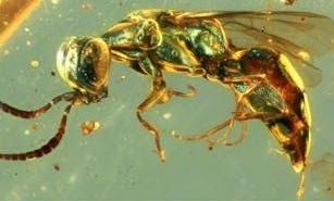 These insects preserved in amber are still glowing 99 million years later