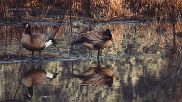 two Canadian geese by some water