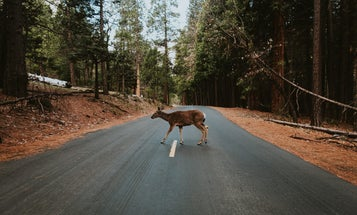 Less roadkill during the pandemic could translate to more deer down the road