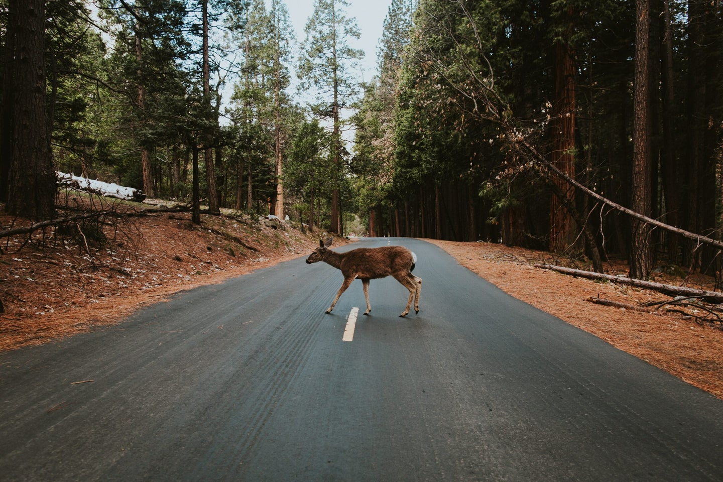 A doe crossing a road in Yosemite National Park