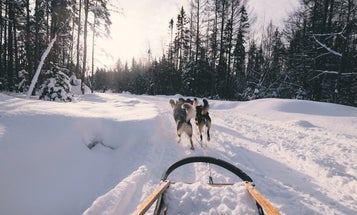 Humans have partnered with sled dogs for 9,500 years