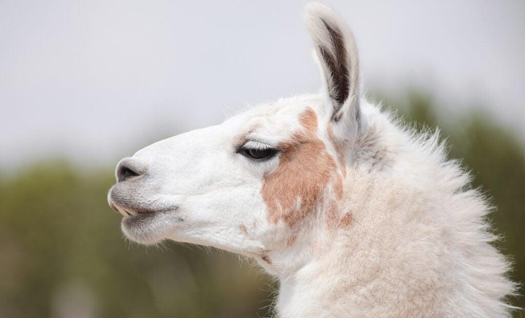 Llama at the Y.O. Ranch Headquarters