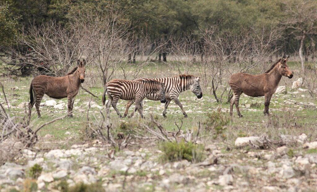 zebras roam a ranch