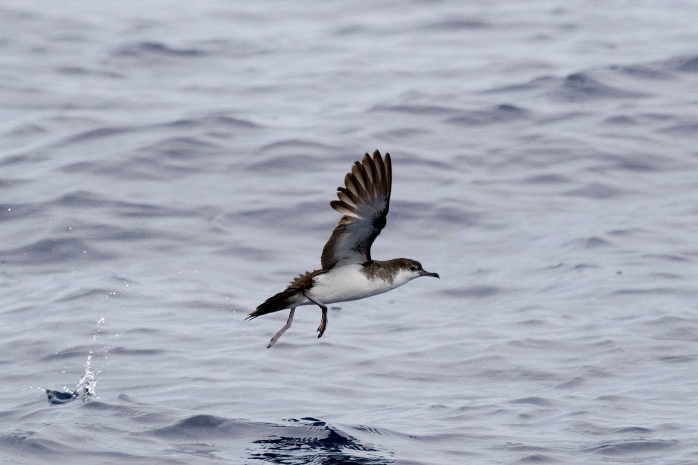 An Audubon's shearwater over water