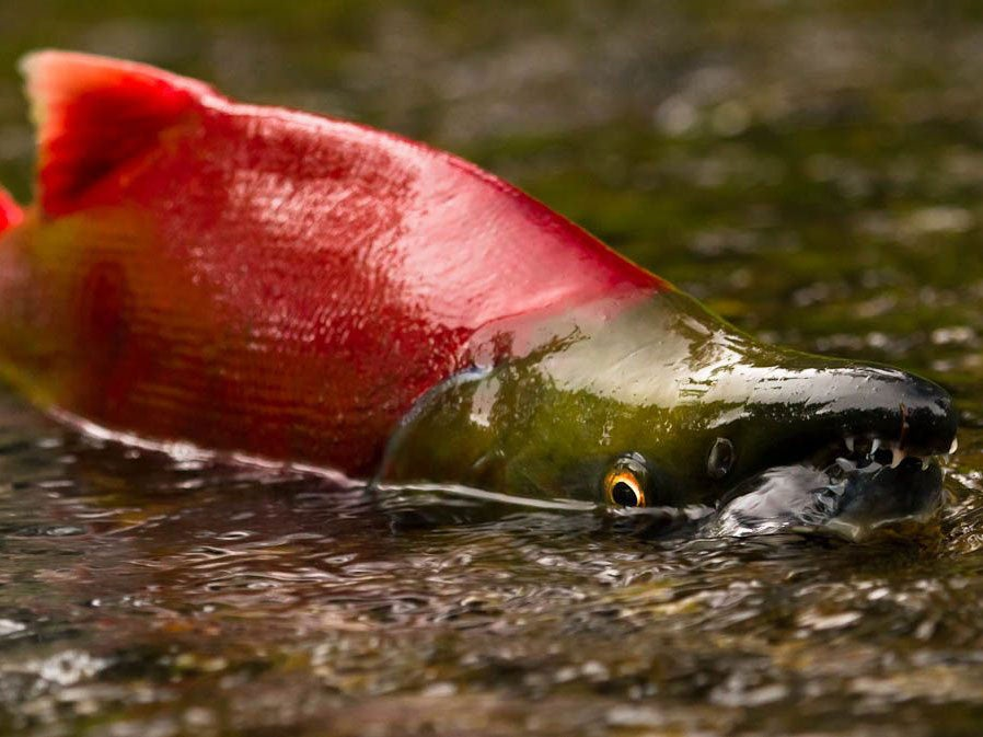 A sockeye salmon in very shallow water.
