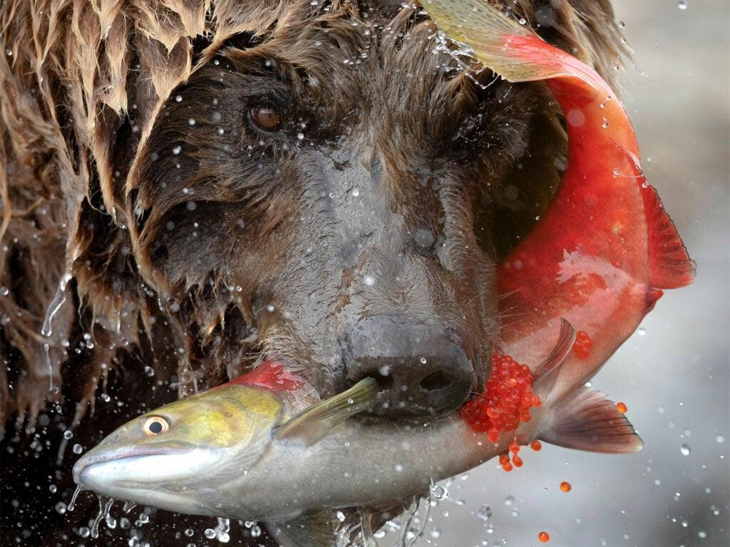 A bear biting into a salmon.