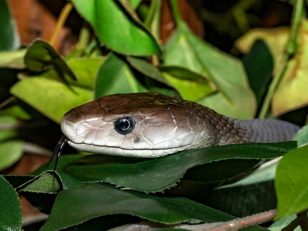 Closeup detail of the head of a black mamba snake hidden in the leaves.