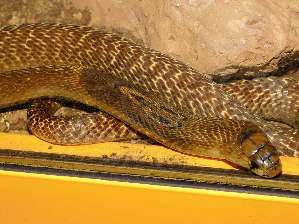 A king cobra snake coiled up with the hood retracted.