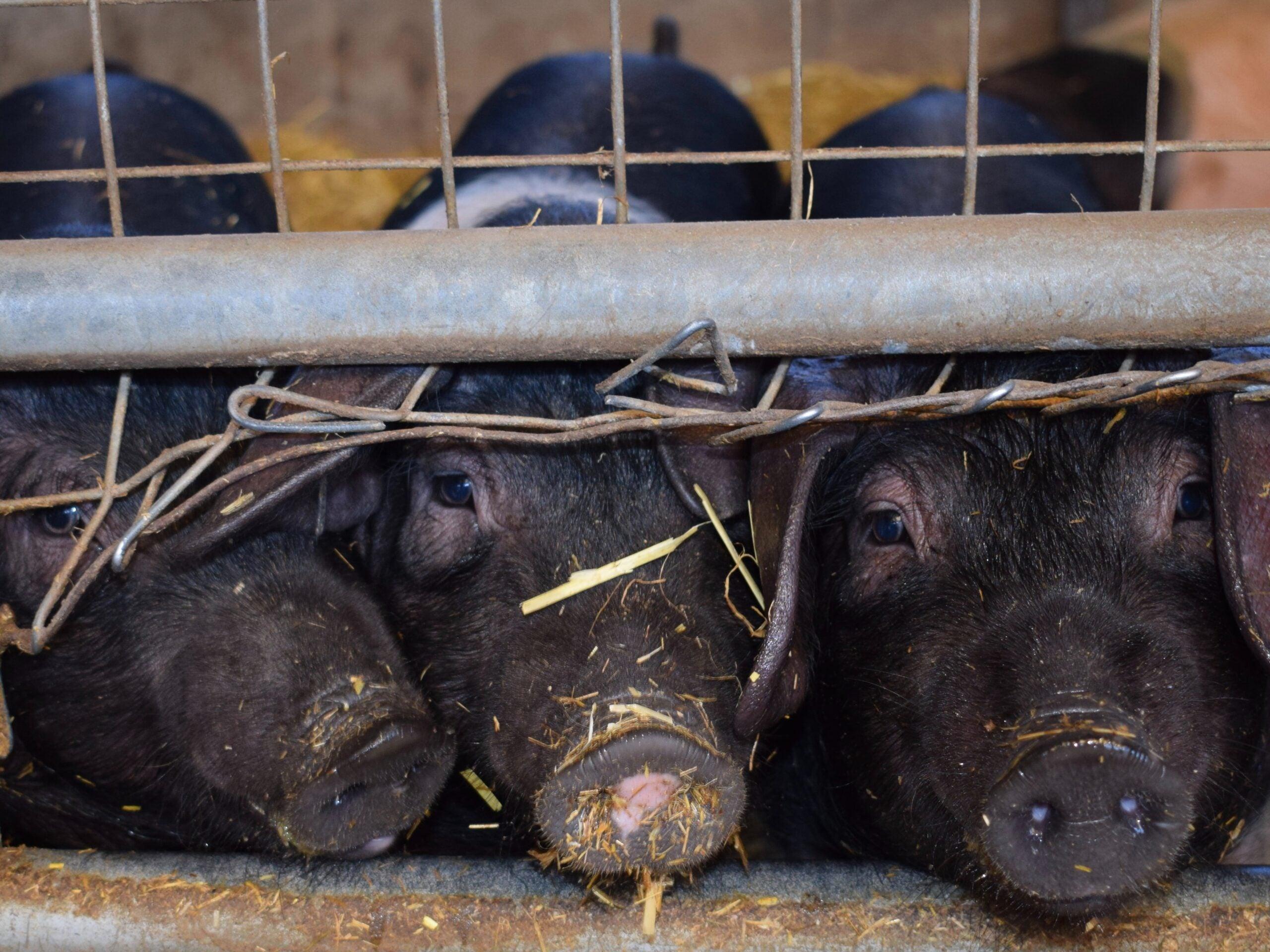 Viruses like influenza often evolve in livestock, like the pigs pictured here.