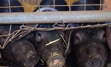 There's a dangerous virus brewing in pigs—but there's no need to panic yet