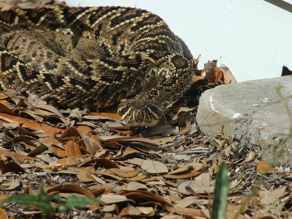 A coiled up eastern diamondback rattlesnake in the leaves.