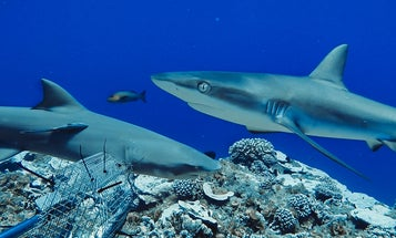 Reef sharks around the world are in trouble