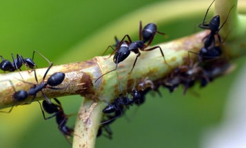 Ants could help us beat future pandemics