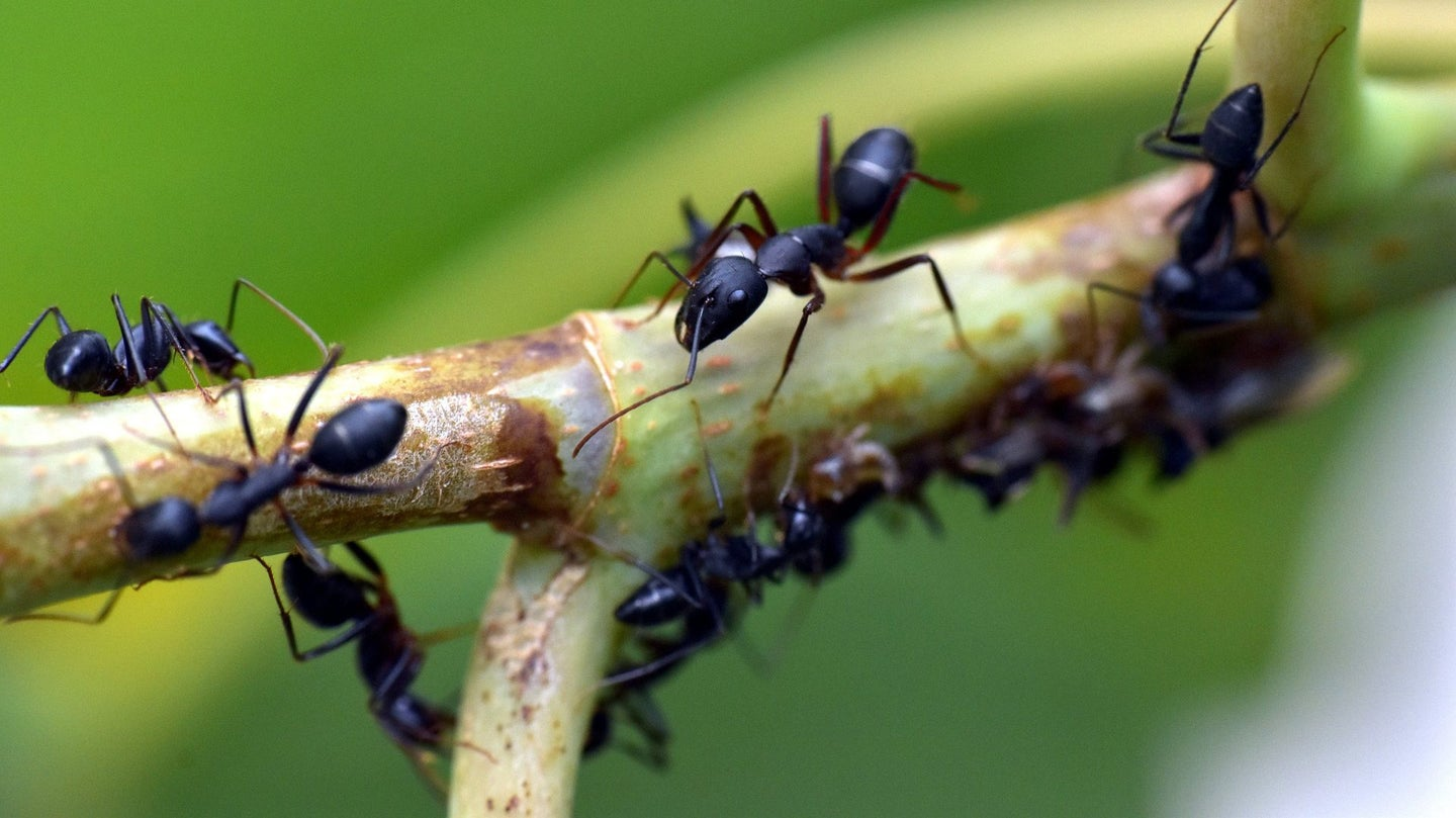 ants on a tree branch