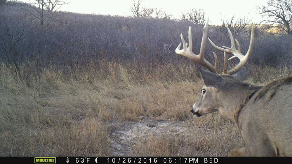 Trail camera footage of a whitetail deer in an open field.
