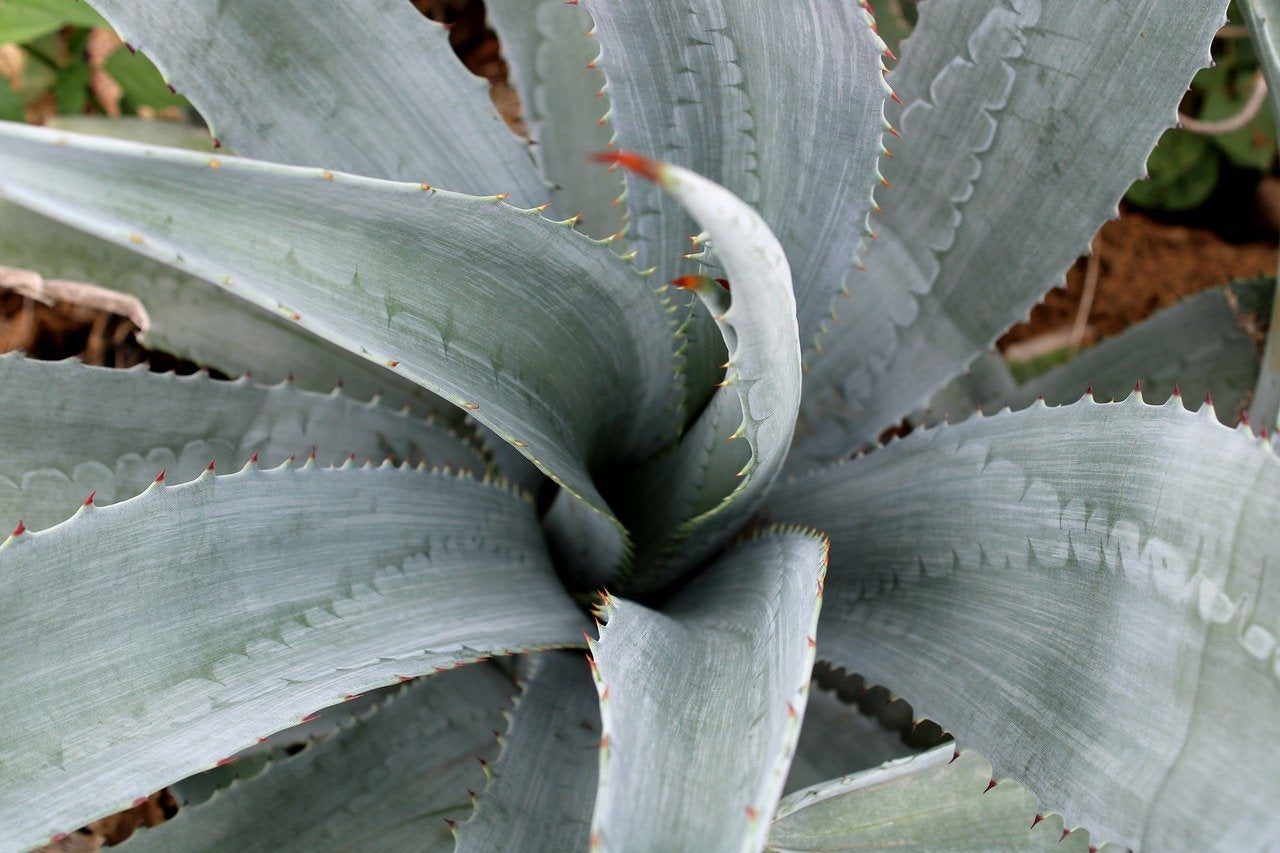 A blue agave plant