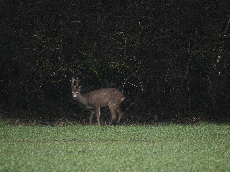A buck in a grassy field