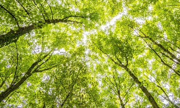 Young trees have special adaptations that could save the Amazon