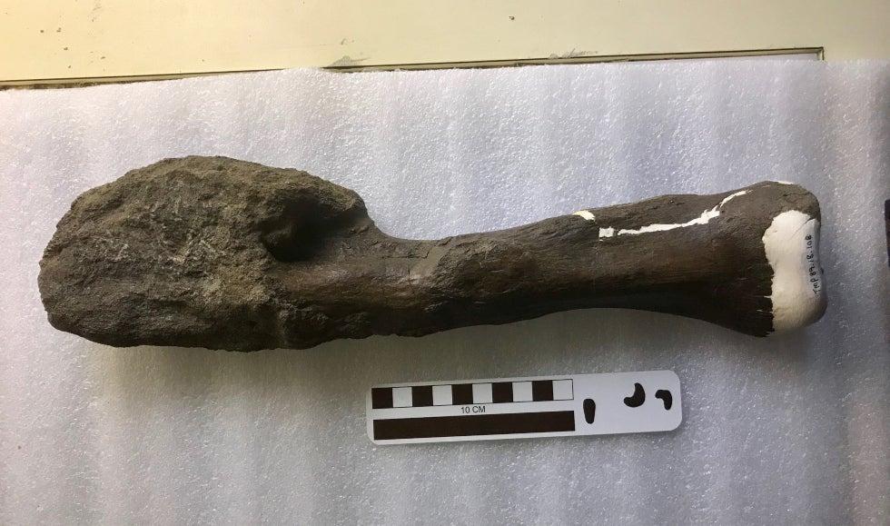 Centrosaurus apertus fibula