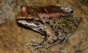 Longterm polyamory seems to work just fine for these frogs