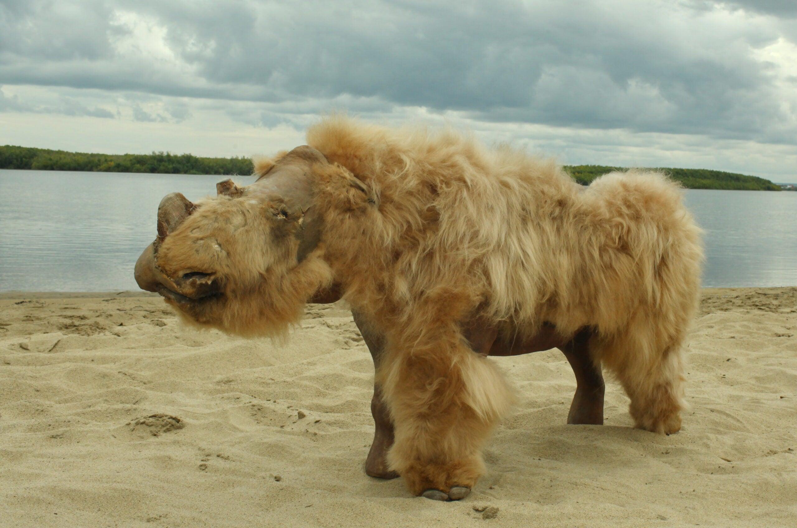 Fully preserved woolly rhino named Sasha.