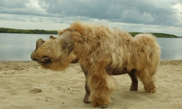 Climate change probably contributed to the woolly rhino's rapid demise