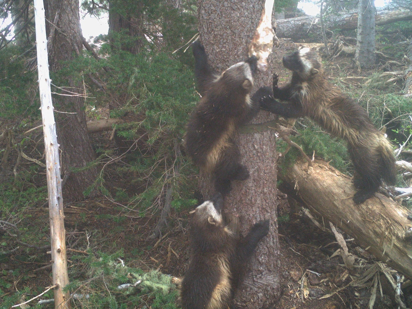 A mother wolverine and her kits ascend a tree.
