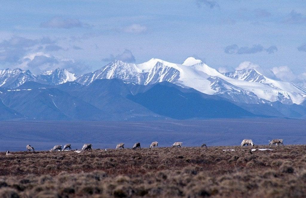 The Brooks Range sets the backdrop for vital caribou feeding grounds in the Arctic National Wildlife Refuge in Alaska.