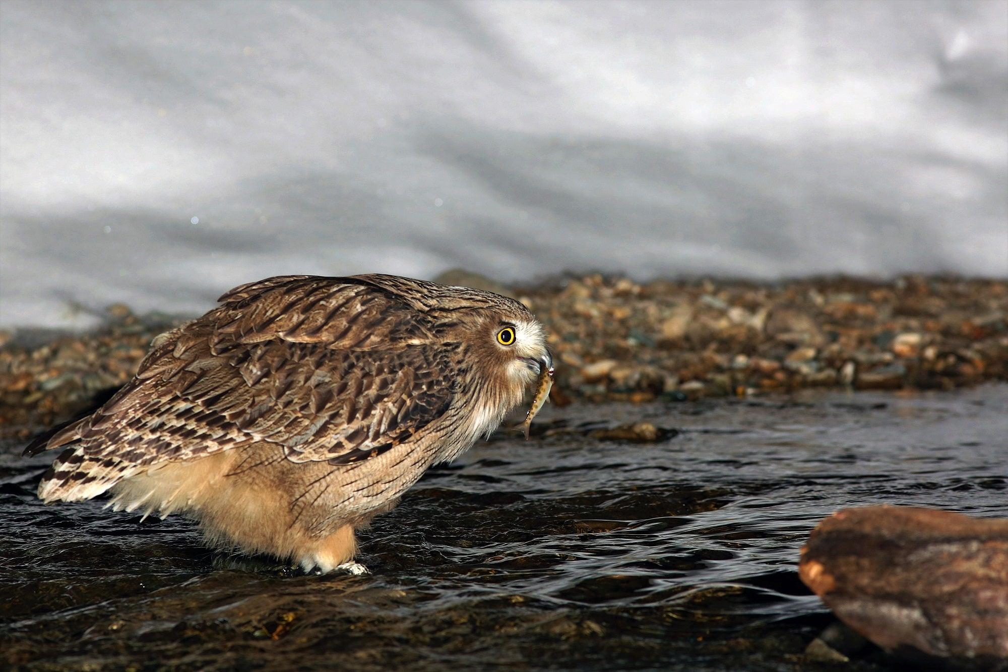 A Blakiston's fish owl hunting for masu salmon in a river